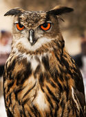 Eagle or Horned Owl — Stockfoto