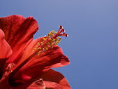 Röda tropiska hibiskus — Stockfoto