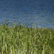 Grass of Marsh — Stock Photo #2241729