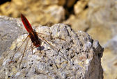 Sympetrum Fonscolombii — Stock Photo