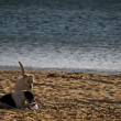 Dogs at the Beach — Stock Photo #2256674