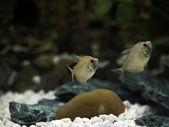 Freshwater Barb — Stock Photo