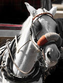 Carriage Horse — Foto de Stock