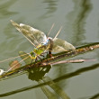 Stock Photo: Anax Junius or Green Darner