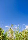 Reeds and Sky — Stock Photo