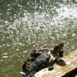 Freshwater Turtle — Stock Photo #2312800