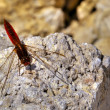 Stock Photo: Sympetrum Fonscolombii