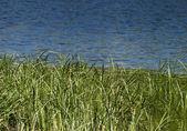 Grass of the Marsh — Stock Photo