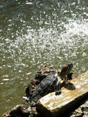 Freshwater Turtle — Stock Photo