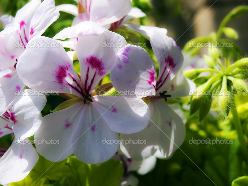 Beautiful white flower speckled with deep magenta markings — Stock fotografie #2314044