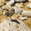 Passer Domesticus — Stock Photo #2369039