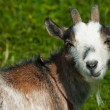 Goat looking closeup - Stock Photo