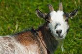 Goat looking closeup — Stock Photo