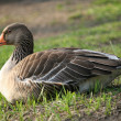 Goose — Stock Photo