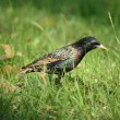 Starling — Stock Photo