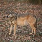 Wolf — Stock Photo #1849547