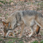Wolf — Stock Photo #1849562