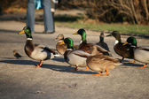 Group of ducks — Stock Photo