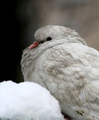 White pigeon in snow — Stock Photo