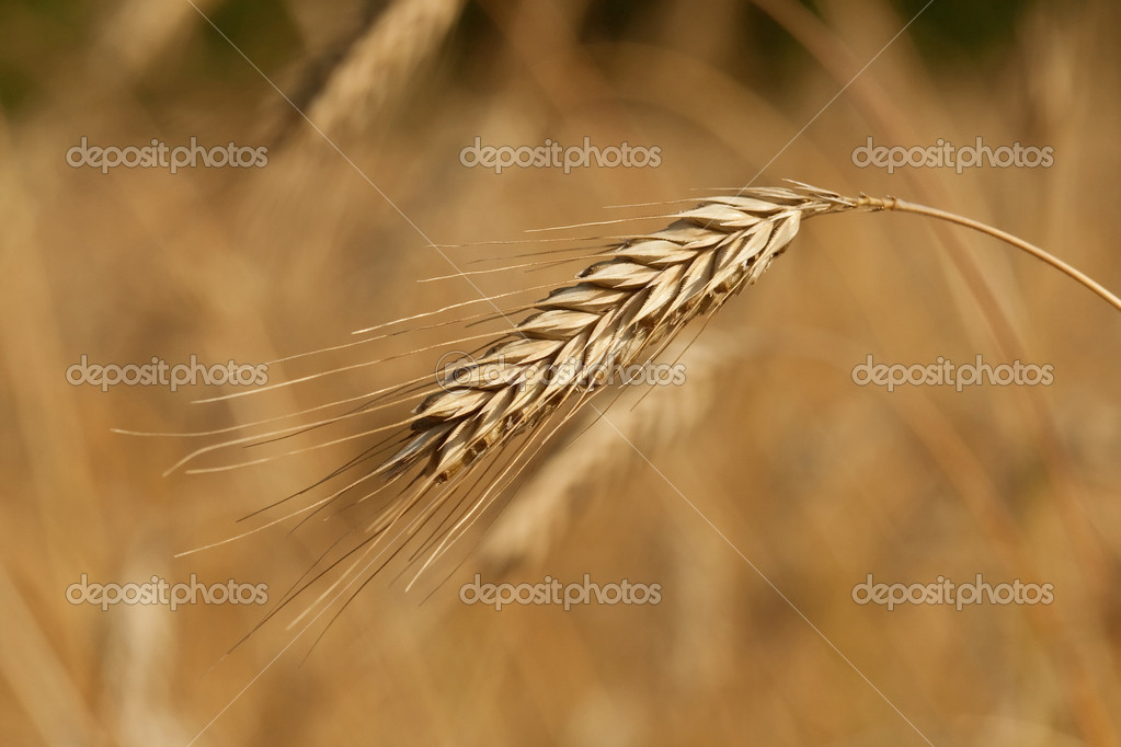 Wheat field, golden crops, nature, harvest, colour — Stock Photo #1843251