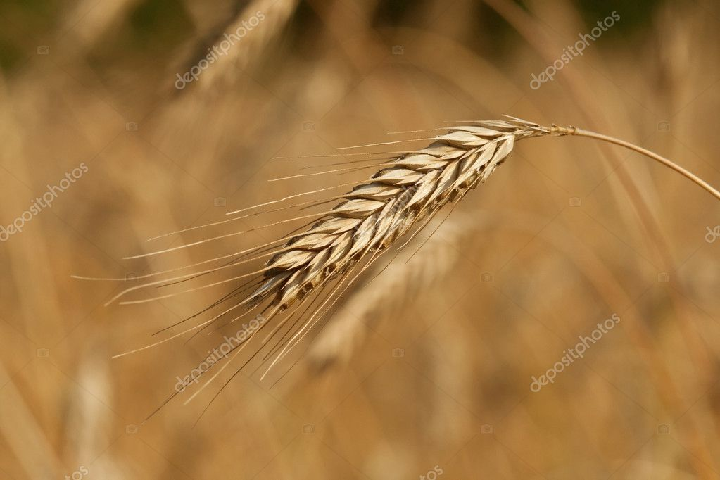 Wheat field, golden crops, nature, harvest, colour  Zdjcie stockowe #1843251