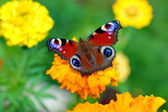 The butterfly on a yellow flower — Stock Photo