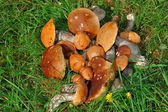 Mushrooms lying on a grass — Stock Photo