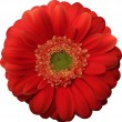 Red Gerbera — Stockvektor