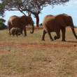 Foto Stock: Elephants on savanna