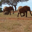Elephants on savanna — Foto Stock #2285202