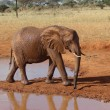 Red african elephant at the waterhole — Stock Photo