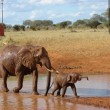 Red african elephants at the waterhole — Stock Photo