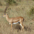 Antelope Impala in savanna - Stock Photo