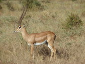 Antelope Impala in savanna — Stock fotografie