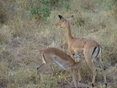 Antelope Impala with baby in savanna — Photo