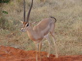Antelope Impala in savanna — 图库照片