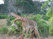 Masai giraffes — Stock Photo
