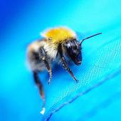 Bumblebee in macro — Stock Photo