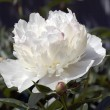 White peony — Stock Photo