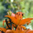 Tiger lilly — Stock Photo