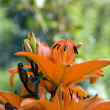 Tiger lilly — Stockfoto #1859920