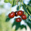Big sweet cherrie — Stock Photo