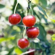 Stock Photo: Juicily cherries on Tree.