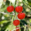 Juicily cherries - Stock Photo