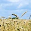 Golden wheat on the plant. - Stock Photo