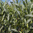 Stock Photo: Corn in field on blue sky