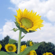 Stock Photo: Amazing sunflower