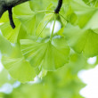 Ginkgo bilobleaf. — Stock Photo #1861431