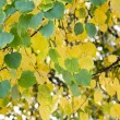 Stock Photo: Leaves of birch