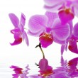 Stock Photo: Rose orchids